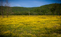 Field Of Yellow Buttercup Flowers Stock Photography - 28649612