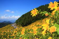 Mexican Sunflower Stock Image - 28651811