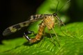 Scorpion Fly Royalty Free Stock Image - 28656266