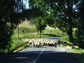 Sheep Crossing Country Road Royalty Free Stock Photography - 28657707