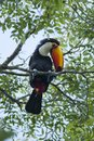 Toucan On A Branch Stock Photography - 28668472