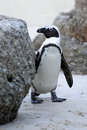 Wild African Penguin Stock Photography - 28678212