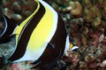 Moorish Idol Stock Photography - 28680302