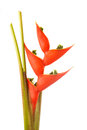 Heliconia Flower Royalty Free Stock Photos - 28689428