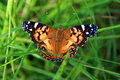 Colorful Butterfly In Grass Royalty Free Stock Photos - 2873918