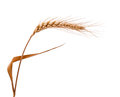 Ear Of Wheat Isolated Stock Image - 28718931