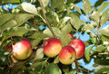Akane Apples Growing On Tree Stock Image - 28722141