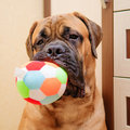 Little Puppy Bullmastiff Royalty Free Stock Images - 28726789