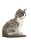 Grey And White Kitten Royalty Free Stock Image - 28731256