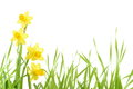 Yellow Narcissus Stock Photography - 28743942