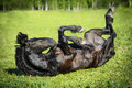 Black Horse Rolls On The Grass Royalty Free Stock Images - 28759359