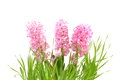 Pink Hyacinth Stock Images - 28760654