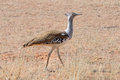 A Kori Bustard In The Kgalagadi Transfrontier Park, South Africa Stock Photography - 28763122