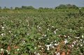 Cotton Crop Stock Images - 28766484