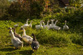 A Herd Of Domestic Geese Royalty Free Stock Images - 28778109