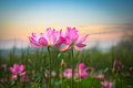 Lotus Flower In Sunset Stock Photography - 28780272