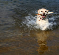 Yellow Lab In Water Royalty Free Stock Photo - 2880975