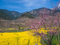 Mustard Field Stock Photography - 28800632