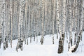 Birch Forest Royalty Free Stock Image - 28812996