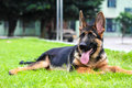 German Shepherd On The Meadow Stock Image - 28817961