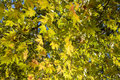 Plane Tree Leaves Royalty Free Stock Photography - 28823027