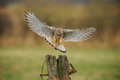 Female Kestrel Coming In To Land Royalty Free Stock Photos - 28824508