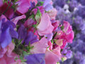 Sweet Pea Royalty Free Stock Images - 28824849