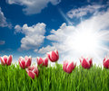 Grass And Pink Tulip S Flowers With Water Drops  Against Blue Sk Stock Photo - 28828710