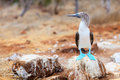 Blue Footed Booby Royalty Free Stock Photo - 28833185