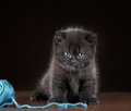 British Short Hair Kitten And Ball Of Yarn Royalty Free Stock Photos - 28836738