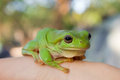Green Tree Frog Royalty Free Stock Photos - 28855718