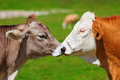 Swiss Cows Royalty Free Stock Photos - 28863918