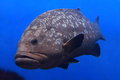 Giant Grouper Royalty Free Stock Photography - 28864257