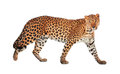 Leopard Stock Photography - 28883082