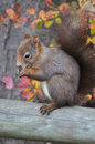 Red Squirrel Royalty Free Stock Images - 28893549