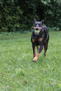 Doberman Pinscher Fetching Ball Royalty Free Stock Image - 28896646