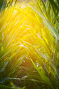 Corn Field Stock Images - 2897744