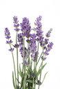 Lavender Royalty Free Stock Photos - 2899348