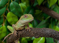 Chinese Water Dragon Lizard Reptile Physignathus Cocincinus Royalty Free Stock Photography - 28908427