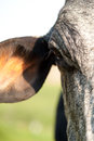 Close-up Of A Cow Stock Images - 28915244