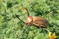 Rhinoceros Beetle In A Park Stock Photography - 28915302
