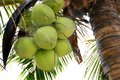 Coconut Palm (coconut) Royalty Free Stock Images - 28927889