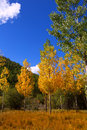 Autumn Fall Forest With Yellow Golden Poplar Trees Stock Photography - 28939642