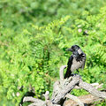 Hooded Crow Stock Images - 28941784