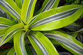 Tropical Plant Royalty Free Stock Image - 28946046