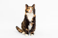 Calico Cat White Backdrop Stock Images - 28947224