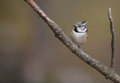 Crested Tit Royalty Free Stock Image - 28957486