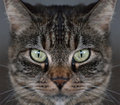 Tabby Cat Face Royalty Free Stock Photography - 28970227