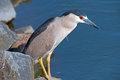 Black-crowned Night Heron Royalty Free Stock Photography - 28975897