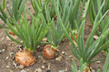 Onion Royalty Free Stock Photography - 28977207